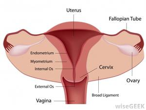 cervix pregnant wife nude - A diagram of the female reproductive system, including the cervix.